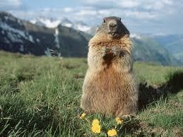 Сурок | Marmot